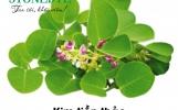 Kim tiền thảo đứng đầu danh sách các thảo dược trị sỏi tiết niệu, viêm tiết niệu